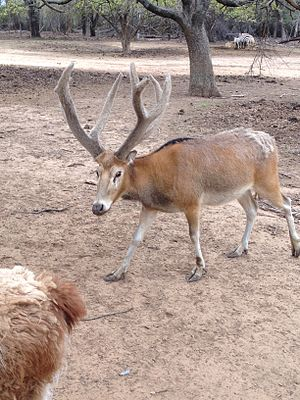 Père David's deer - Père David's deer (male) at Sharkarosa Ranch, 2014.