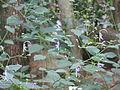 Caryopteris divaricata1.jpg