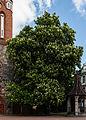 Castaño de Indias (Aesculus hippocastanum), Sopot, Polonia, 2013-05-22, DD 01.jpg