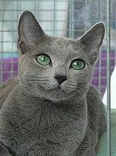 e89a9f702f Russian Blue s green eyes