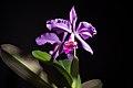 Cattleya warneri (sib. 'Rio Casca' x 'Carolina') T.Moore ex R.Warner, Select Orchid. Pl. t. 8 (1862) (26064153377).jpg