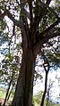 Caule e parte da copa de árvore de Mata Cipó-Ba.jpg