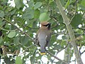 Cedar Waxwing from behind perching on a small branch.jpg