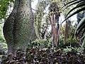 Ceiba speciosa and Chorisia speciosa, Huntington.jpg