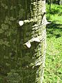 Ceiba trunk and throns.jpeg