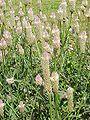 Celosia argentea0.jpg