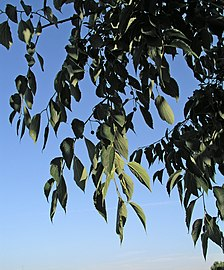 Celtis australis 1.jpg