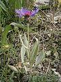 Centaurea montana 002.JPG