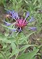 Centaurea montana kz03.jpg