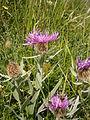 Centaurea uniflora 001.jpg