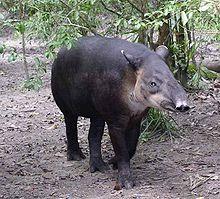 220px-Central_American_Tapir-Belize20.jp