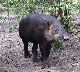 Midden-Amerikaanse tapir