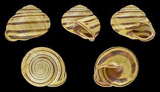 Cepaea nemoralis - Shell 34.jpg
