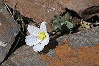 Cerastium lithospermifolium (Caryophyllaceae) (33137442672).jpg