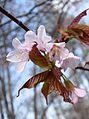 Cerasus jamasakura - Flickr - odako1.jpg
