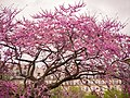 Cercis siliquastrum L. in Paris Jardin des Tuileries, april 2014 (01).jpg