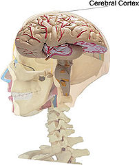 Location of the cerebral cortex