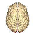 Cerebrum - occipital lobe - superior view.png