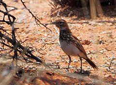 Certhilauda burra -near Springbok, Northern Cape, South Africa-6.jpg