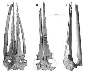 Cetotherium - C. riabinini skull