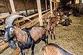 Chèvres ferme du Menez-Hom 03.jpg