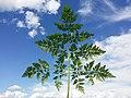 Chaerophyllum bulbosum sl20.jpg