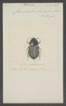 Chasmatopterus - Print - Iconographia Zoologica - Special Collections University of Amsterdam - UBAINV0274 019 15 0019.tif