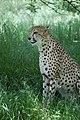 Cheetah (7613088706).jpg