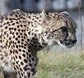 Cheetah 2 (3951013506).jpg