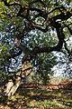 Chene Fau Verzy 23 10 2011 1.jpg
