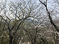 Cherry blossoms in Sasayama Park 14.jpg