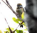 Chestnut-sided Shrike-Vireo (Vireolanius melitophrys) 1 (5783236477).jpg