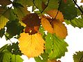 Chestnut Oak Leaves - Flickr - treegrow.jpg
