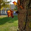 Chestnut autumn leaves at Breda (30451816727).jpg