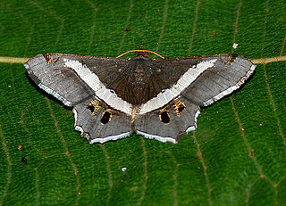 Geometer moth family of insects