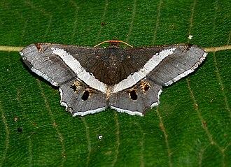 Geometer moth - Chiasmia species from Ennominae