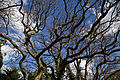 Chigwell Meadow Essex England - oak tree and sky.jpg