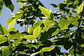 Chimonanthus praecox 7zz.jpg