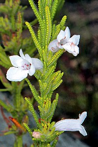 Chloanthes parviflora