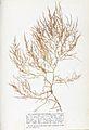 Chondria capillaris Crouan.jpg