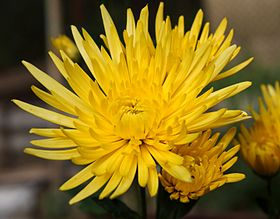 Chrysanthemum November 2015 Sochi.JPG