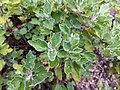 Chrysanthemum japonense - Koko-en 02.jpg