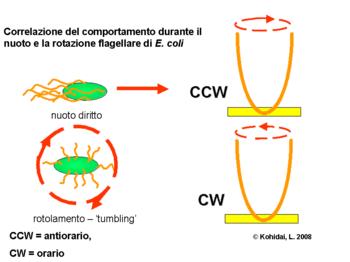 Risultati immagini per chemiotassi batteri