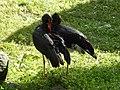 Ciconia nigra Tallinn Zoo 02.jpg
