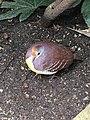 Cinnamon Ground Dove at Leipzig Zoo in Germany 2016.jpg