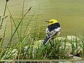 Citrine Wagtail (Motacilla citreola) (34189572283).jpg