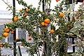 Citrus aurantium var. myrtifolia Chinotto 6zz.jpg