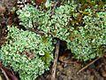 Cladonia humilis.JPG