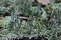 Cladonia sp. (24859260457).jpg