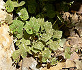 Claytonia perfoliata ssp intermontana 8.jpg